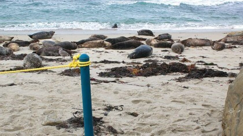 A 152-foot-long rope is positioned at the Children's Pool beach in La Jolla with the purpose of distancing humans from seals. (Photo by Pat Sherman)