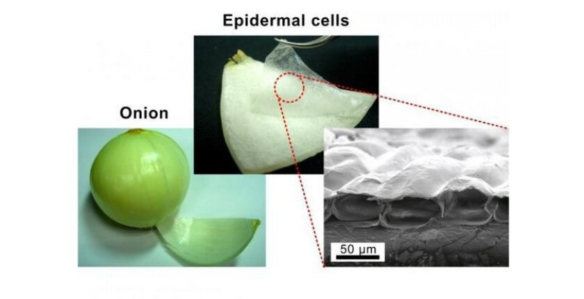 Surprise  Gold-plated Onion Cells Make Great Artificial Muscles