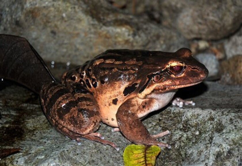 In this photo released by the Durrell Wildlife Conservation Trust, an adult female mountain chicken frog in healthy condition is shown during a night survey at Fairy Walk in the Caribbean island of Montserrat on March 6, 2009. Scientists are airlifting to Sweden and Britain one of the world's largest frogs out of the tiny island of Montserrat to save it from a deadly fungus devastating its dwindling habitat that has been nearly destroyed by the temperamental Soufriere Hills volcano. (AP Photo/Gerardo Garcia, Durrell Wildlife Conservation Trust)