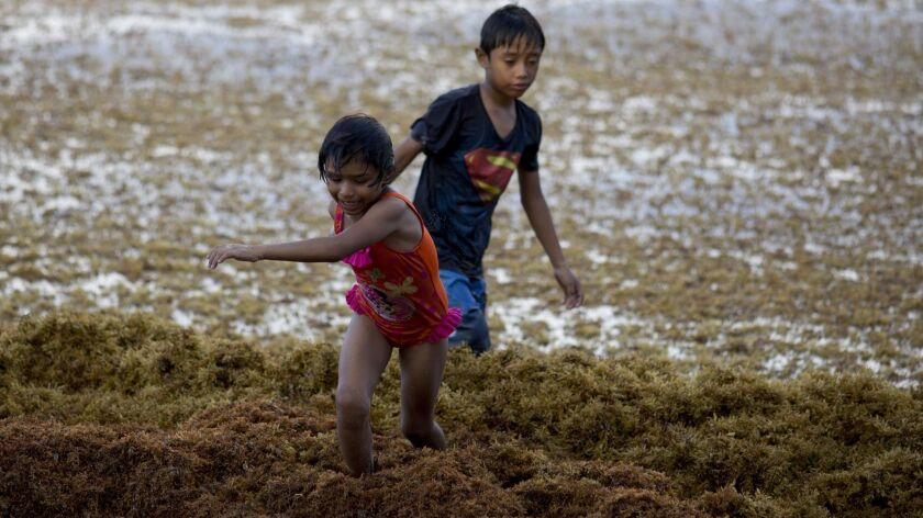 In this Sunday, Aug. 5, 2018 photo, children play on the beach full of sargassum in Bahia La Media L