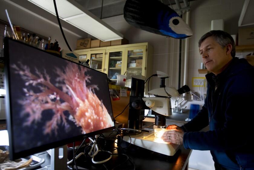 Bodega Bay, CA March 10, 2019: Professor Eric Sanford, P.h.D. looking at a Scarlet Sea cucumber wi