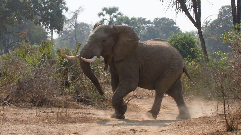 An elephant in the Gonarezhou National Park in southeast Zimbabwe in 2015.