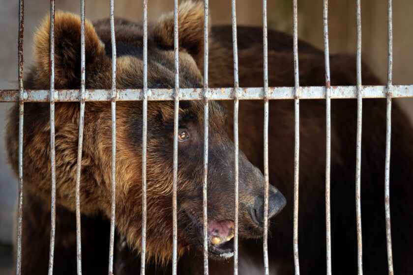 A Syrian brown bear stands inside a cage at a zoo, in the southern port city of Tyre, Lebanon, Sunday, July 18, 2021. Animals Lebanon, a Beirut-based group, said Sunday that two bears including this one, that were rescued from a private zoo in southern Lebanon, will be flown to the United States where they will be released into the wild. (AP Photo/Bilal Hussein)