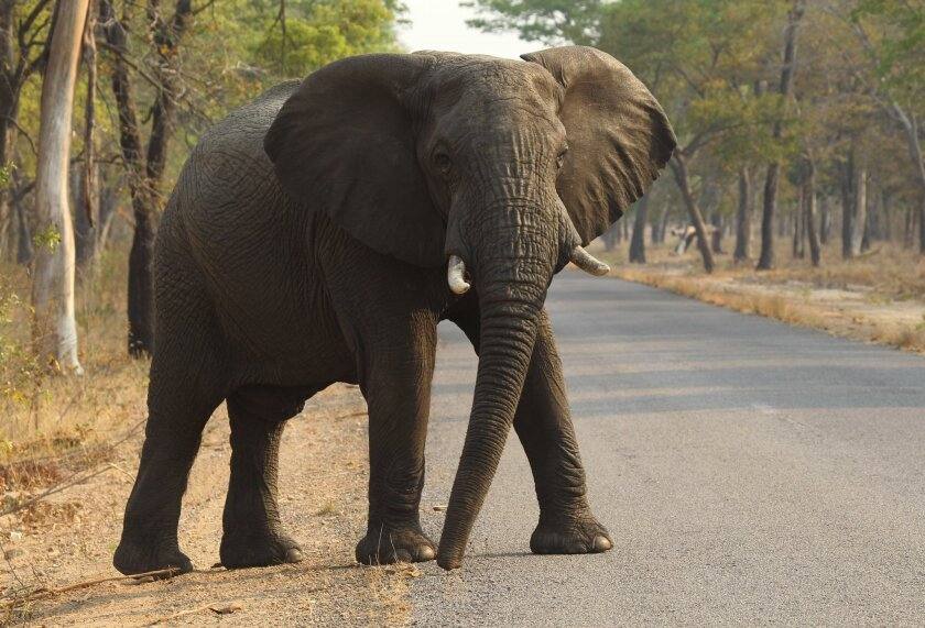 In this Thursday, Oct. 1, 2015 photo, an elephant crosses a road in Hwange National Park, Zimbabwe, about 700 kilometres south west of Harare. Cancer is much less common in elephants than in humans, even though the big beasts' bodies have many more cells. That's a paradox known among scientists, an