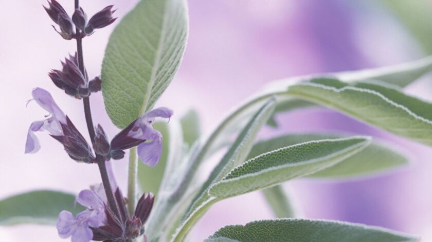 Sage gives year-round in the garden.