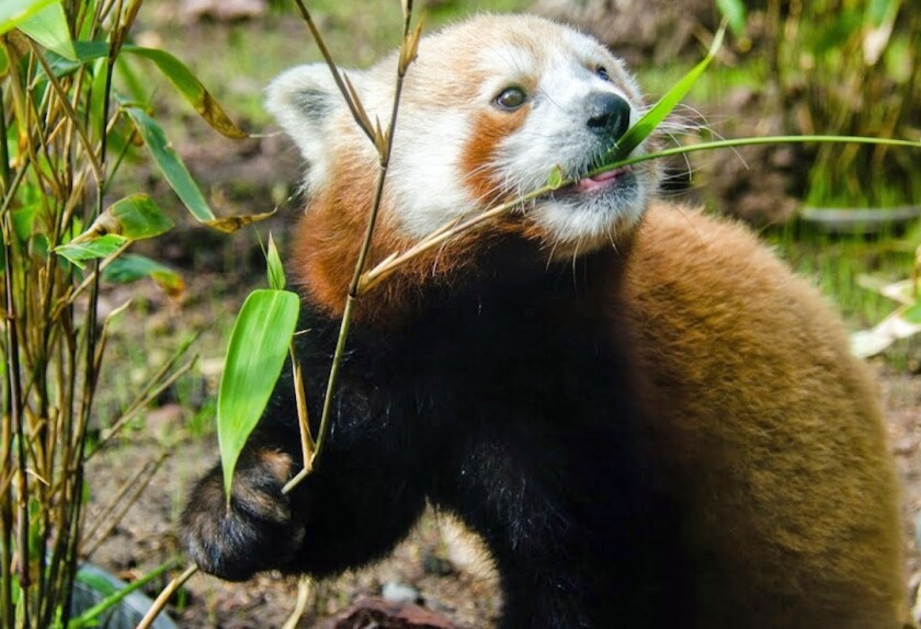 Tenzing chows down on bamboo at the San Francisco Zoo.
