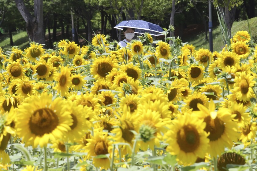 A woman wearing a face mask to help protect against the spread of the new coronavirus walks through a field of sunflowers at a park in Ansan, South Korea, Wednesday, July 15, 2020. (AP Photo/Ahn Young-joon)