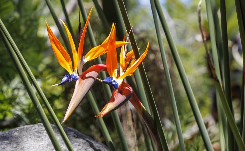 A rare bird of paradise with tubular leaves.