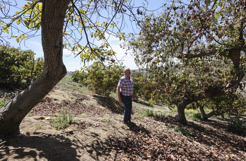 Charlie Wolk in an abandoned avocado grove