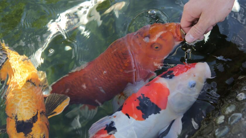 Koi fish eat directly from the hand of Jason Van Jen, 22, at KoiLand in Vista Wednesday. photo by Bi
