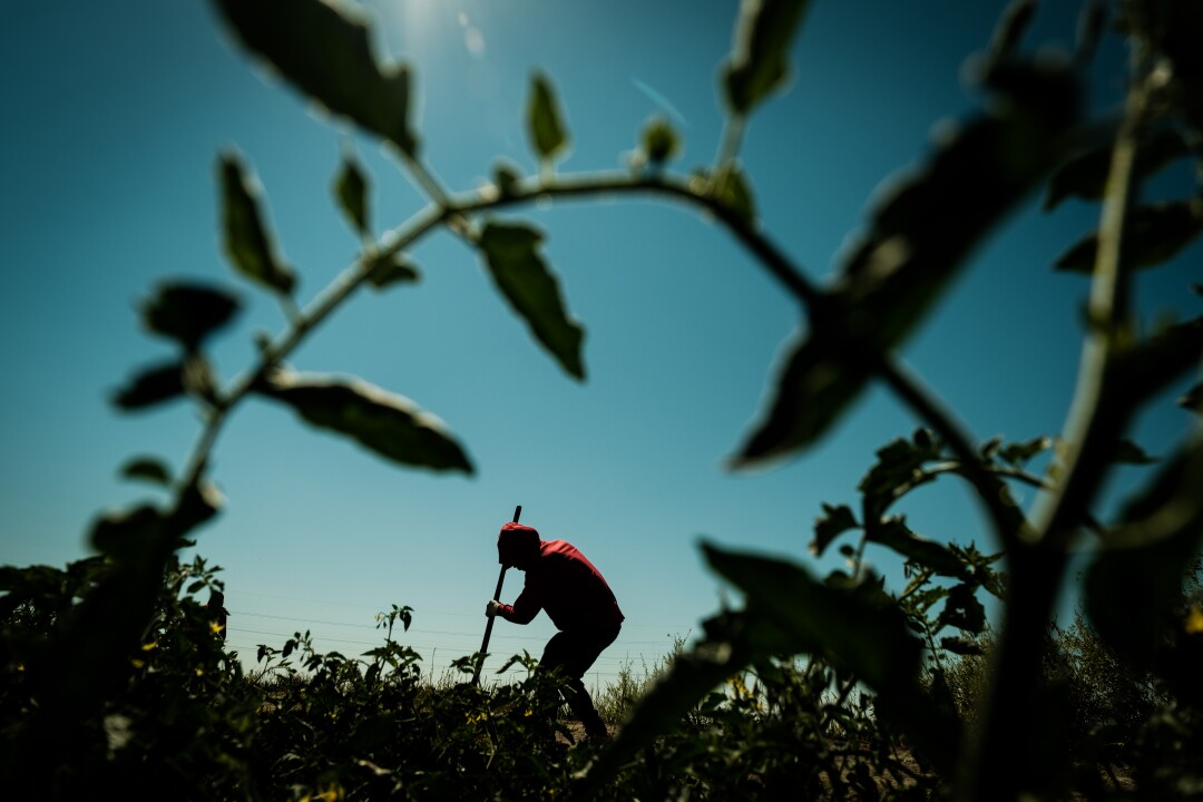 Delfino Perez weeds a tomato field in French Camp