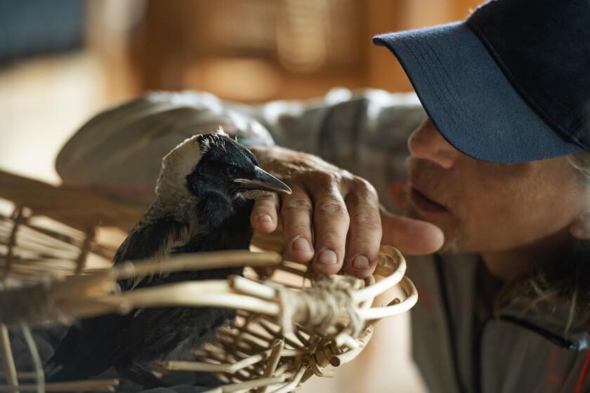 "Bird trainer Paul Mander worked with wild Australian magpies for Netflix's ""Penguin Bloom."""