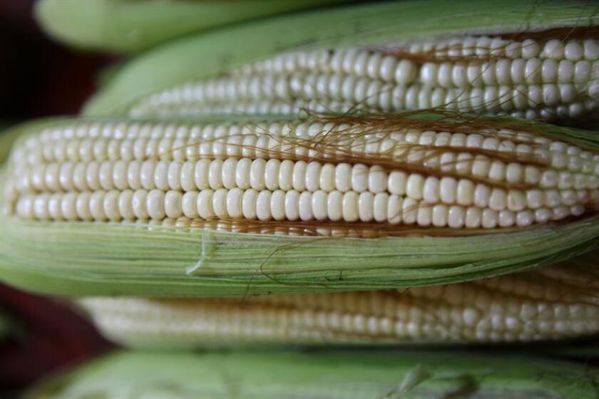 Fotografía de archivo fechada el 23 de febrero de 2013, que muestra mazorcas de maíz, exhibidos en un mercado en Ciudad de México (México). EFE