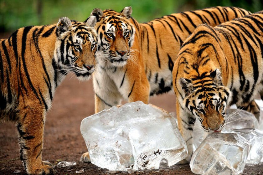 Ice cubes help big cats cool off at Guaipo Siberian Tiger Park in Shenyang, northeastern China's Liaoning province. Chinese efforts on behalf of the Siberian tiger have won worldwide praise among environmentalists.
