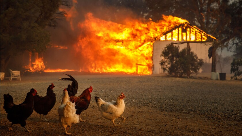 Chickens run free near a home being consumed by the River fire near Lakeport, Calif. New research shows that temperatures rise faster in places under drought conditions.