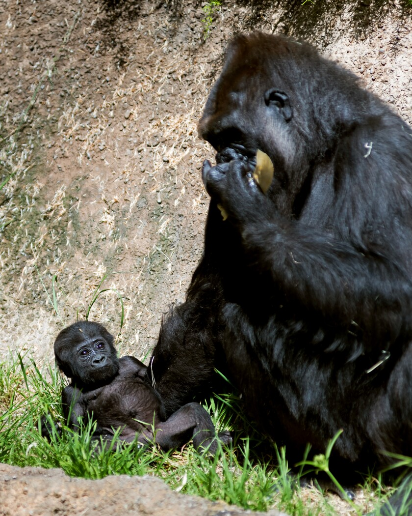 Female western lowland gorilla baby Angela with her mother, N'djia, at the Los Angeles Zoo.