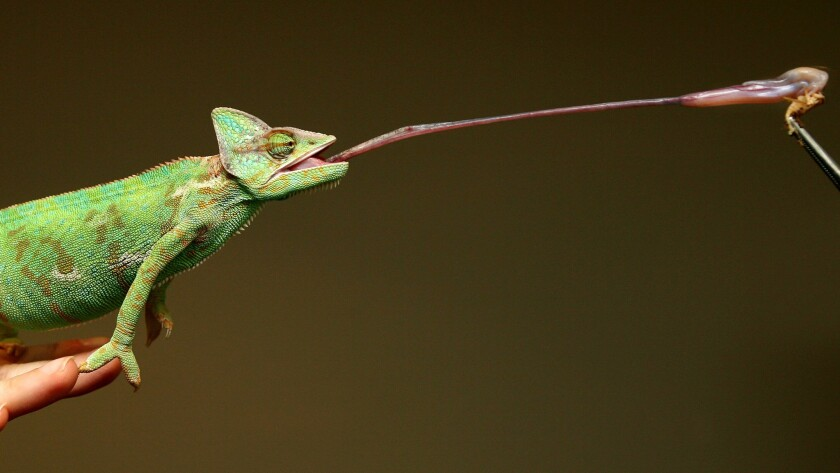Chameleons can do much more than change colors. A new study shows how they're able to use their tongues to hold on to prey.