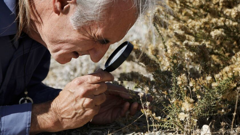 Biologist Robert van de Hoek examines what he believes is a rare plant he's discovered in the Ballona Wetlands.