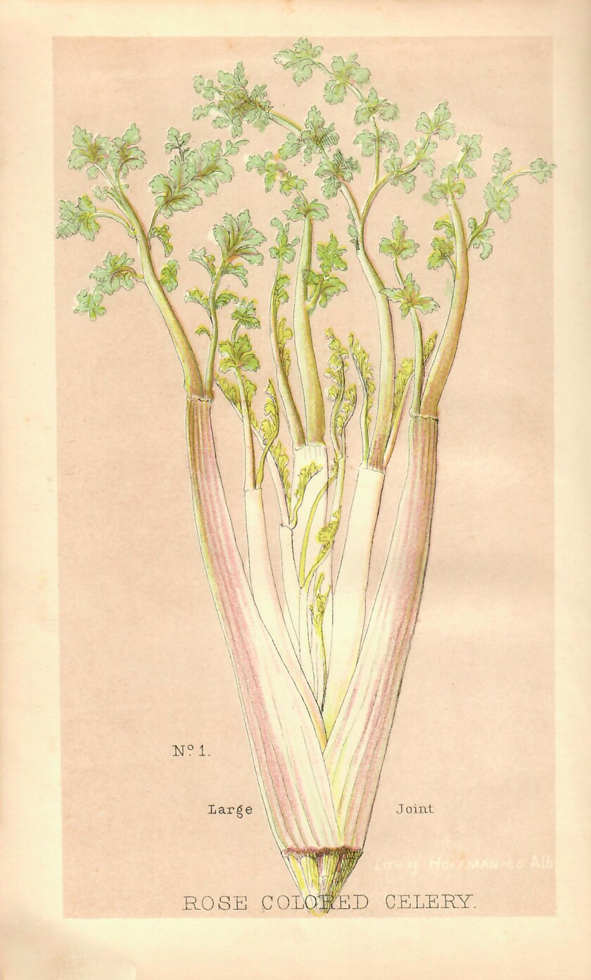 Drawing of pink celery in how you can cultivate and preserve celery, by Theophilus Roessle, publi