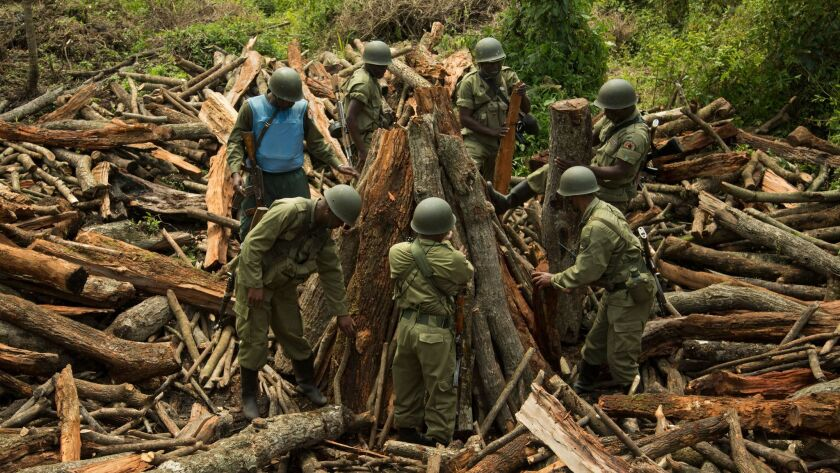 RUMANGABO, DEMOCRATIC REPUBLIC OF CONGO - October 2, 2014: Rangers work to dismantle an illicit char