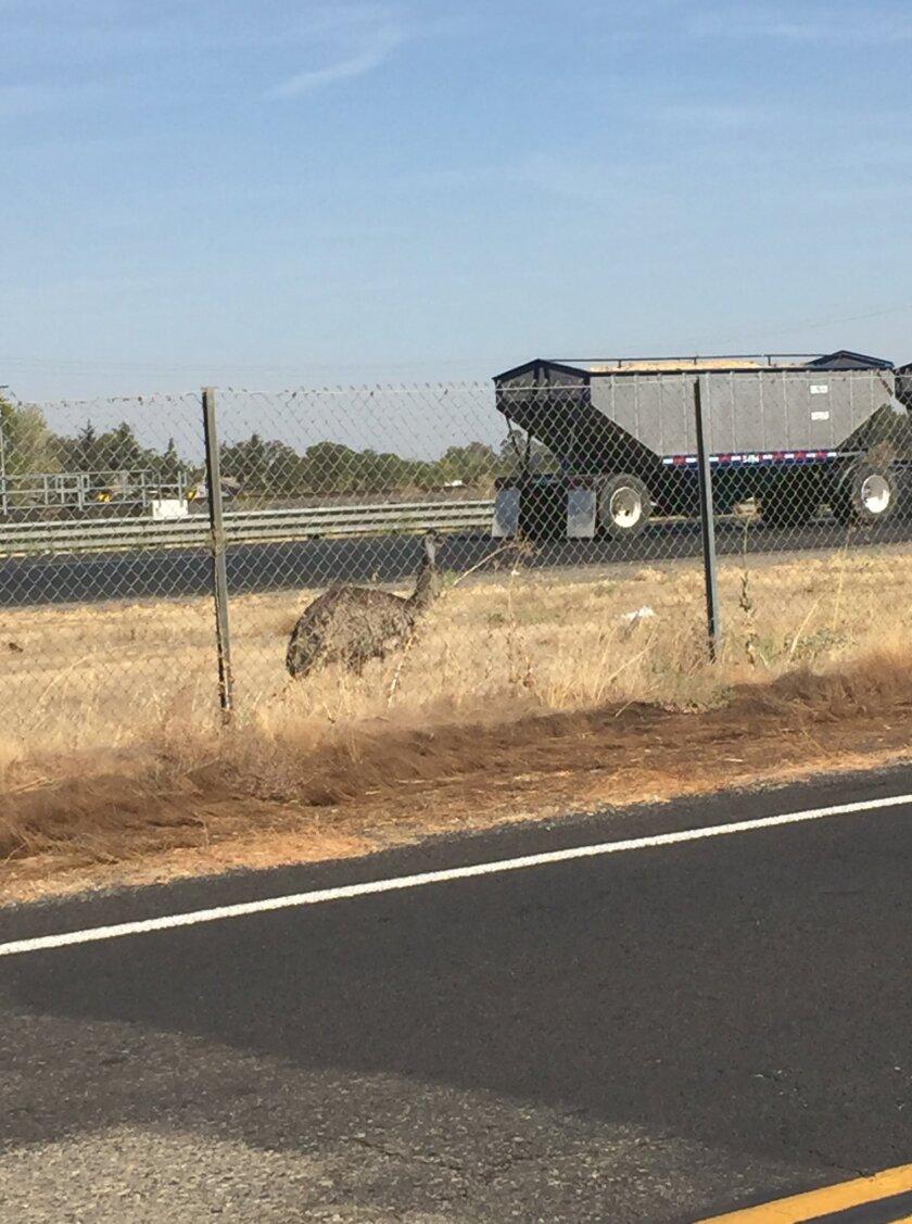 Runaway emu