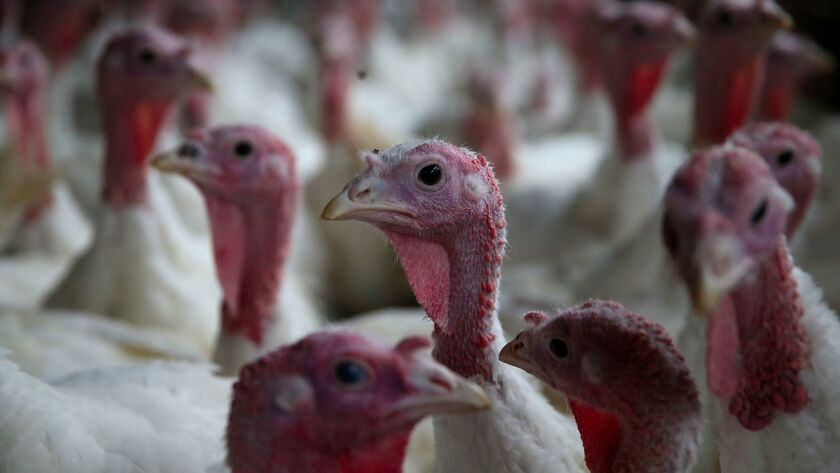 California Turkey Farm Supplies Birds For Thanksgiving Dinners