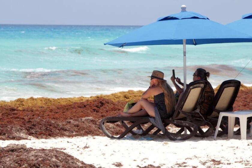 Comienza limpieza de alga del sargazo en playas turísticas de Miami Beach