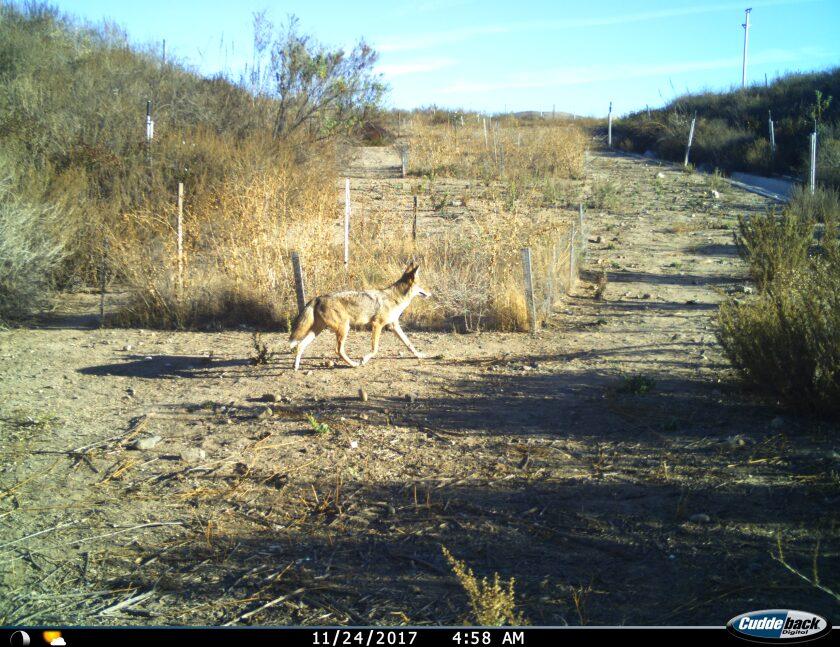 A coyote walks past a camera.