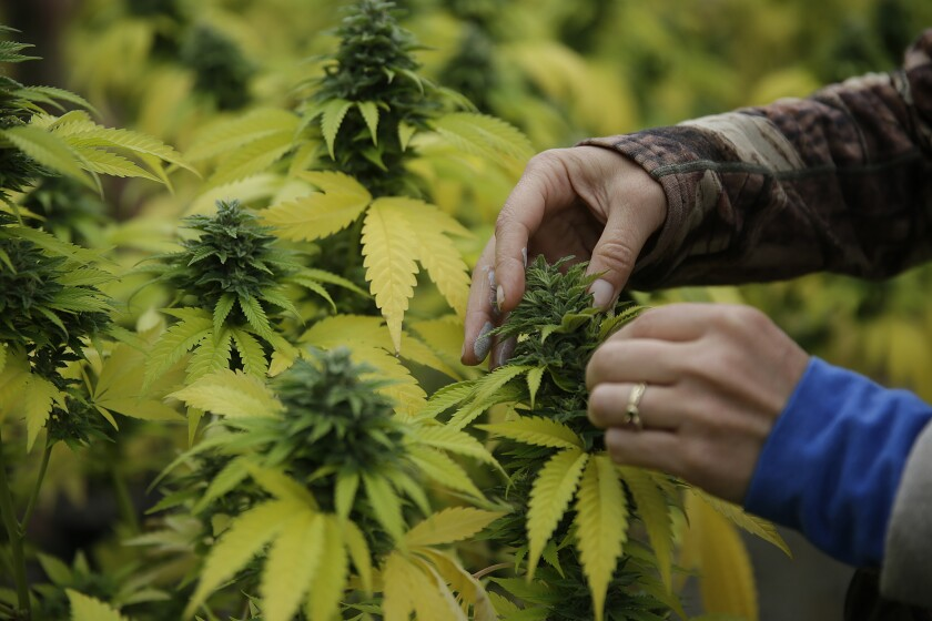 Cannabis farmer in Humboldt County, Calif.