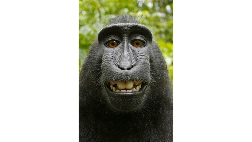 A crested macaque living in an Indonesian reserve purportedly took several photos of itself in 2011 when wildlife photographer David Slater left his camera unattended. PETA argued the monkey owned the copyright.
