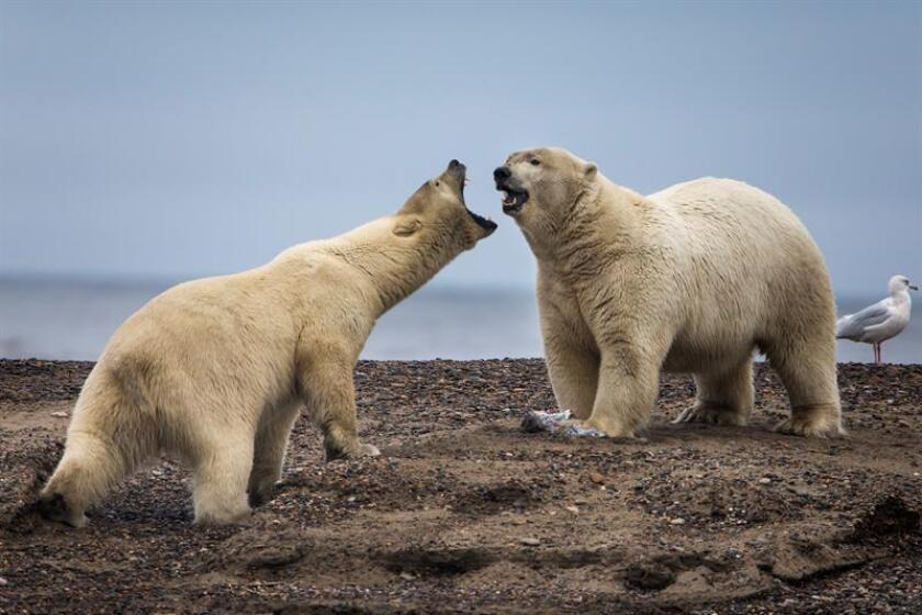 Fotografía que muestra dos osos polares entre la barrera de una isla en el Refugio Nacional de Fauna Salvaje del Ártico, el más extenso de Estados Unidos, a las afueras de Kaktovik, Alaska (Estados Unidos). EFE/Archivo