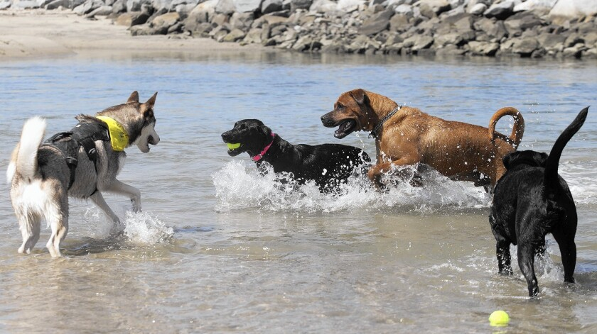 Dogs play off leash in the ocean at the mouth of the Santa Ana River between Newport Beach and Huntington Beach.