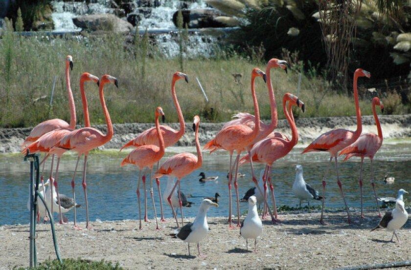 Flamingos dot the infield lake at Betfair Hollywood Park.
