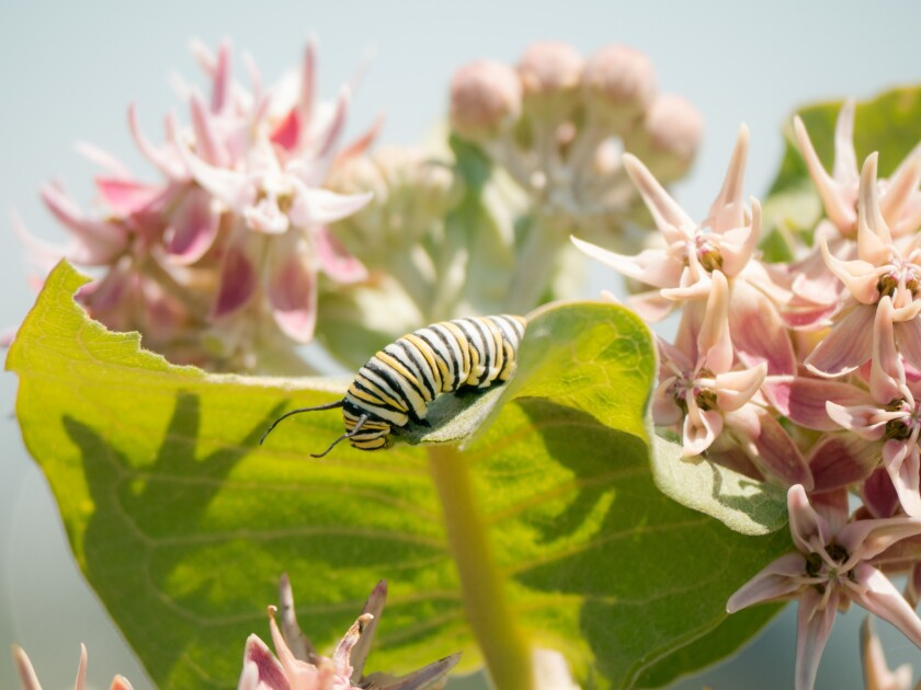 A monarch caterpillar eats on a milkweed plant nestled in a huge patch of milkweed on a portion of t