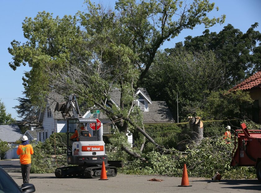 Trees are taken down Tuesday on Kalmia Street. A few dozen trees will be removed as the city overhauls sidewalks and streets in Old Escondido.