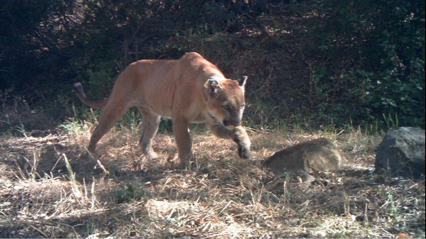 The mountain lion P-12 crossed the 101 Freeway in 2009 from the Simi Hills into the Santa Monica Mountains. Here, his photo was captured by a camera trap in 2011.
