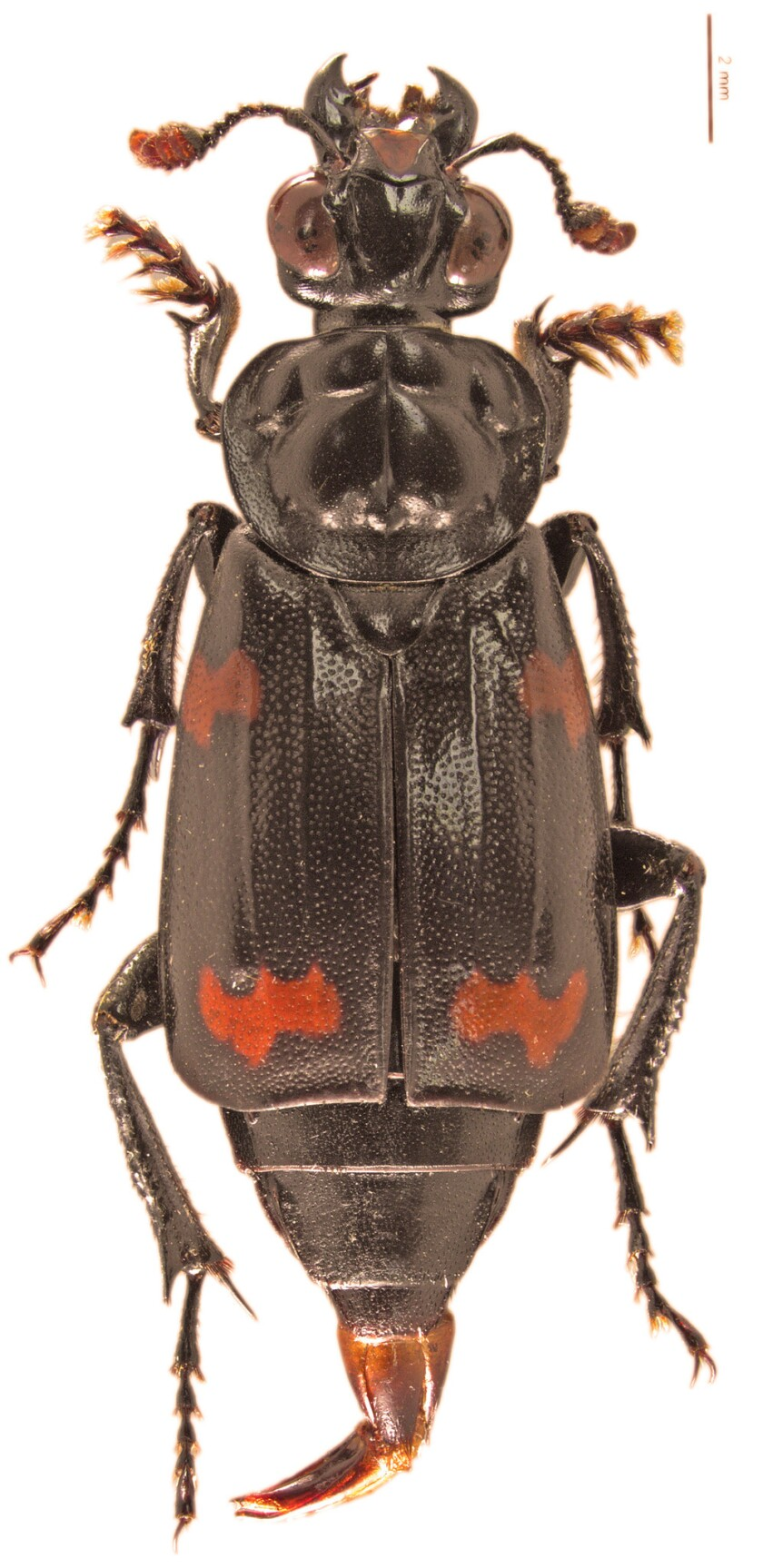 A new species of corpse-eating beetle, Nicrophorus efferens, was discovered from the Solomon Islands.