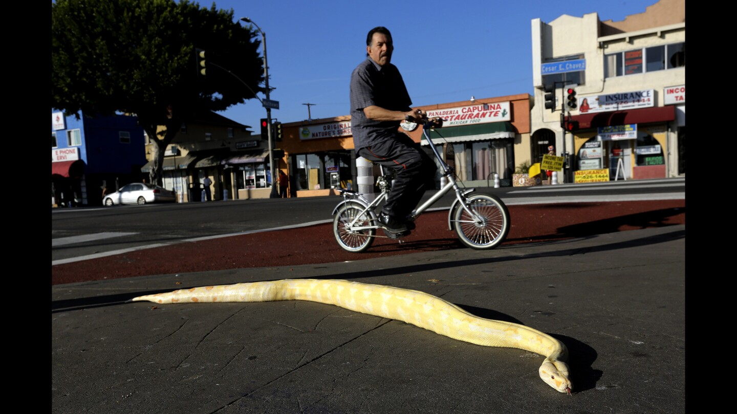 A bicycle rider makes his way past Vanilla, a 3-year-old albino, red-tail boa constrictor, in front of Pet Care Inc. in Boyle Heights. The snake belongs to store owner Jesus Ornelas, who said that he takes the animal outside each day as long as the sun is out.