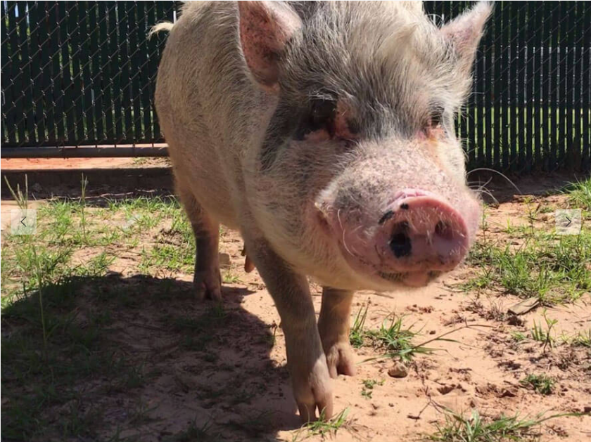 In complaints sent to federal, state and local authorities, PETA accused a leading Hollywood animal training facility of abusing pigs, dogs, birds and other animals.
