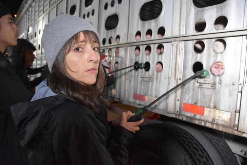"""La activista de """"Los Angeles Animal Save"""", Ana Valverde, da de beber a un cerdo llevado en camión al matadero el pasado 20 de marzo en el rastro de la empresa Farmer John en Vernon, California. EFE/Iván Mejía/Archivo"""