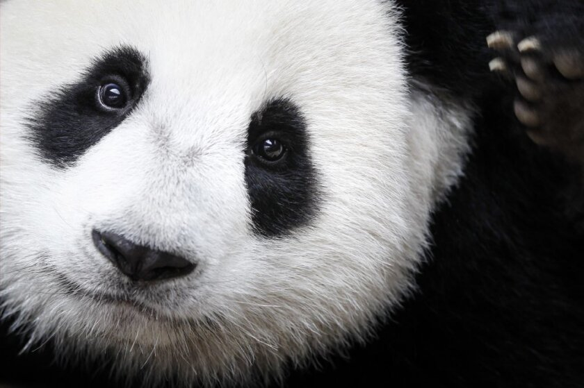 Giant pandas are ready for 2017.