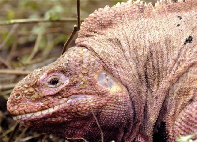 In this photo released by Galapagos National Park, a pink iguana is seen at the Galapagos Islands National Park, Ecuador, Dec. 7, 2008. A team of Ecuadorian and Italian researchers have discovered a unique species of pink land iguanas living on the Galapagos Islands, scientists said. (AP Photo/Gala