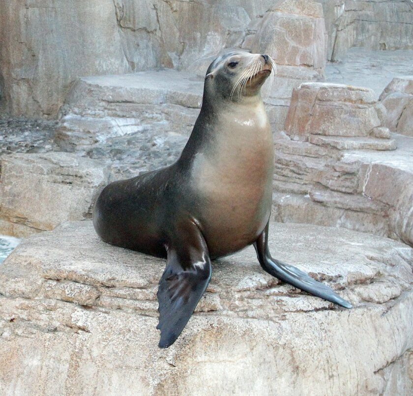 California sea lion. Daniel K. Lew