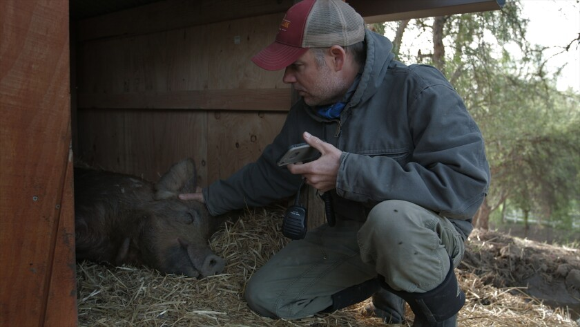 John Chester tends to a pig on his Moorpark farm.
