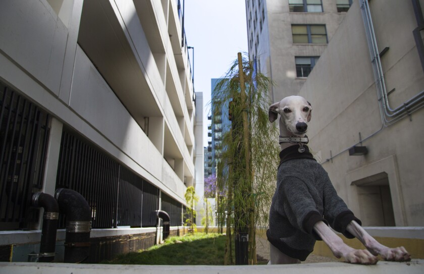 For some downtown L A  dogs, the living is easy - Los Angeles Times