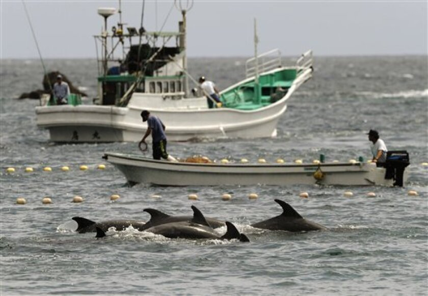 Fishermen drive bottle-nose dolphins into a net during their annual hunt off Taiji, Wakayama Prefecture (state), Japan, Thursday, Sept. 2, 2010. The Japanese government allows a hunt of about 20,000 dolphins a year, and argues that killing them, and also whales, is no different from raising cows or pigs for slaughter. (AP Photo/Kyodo News)