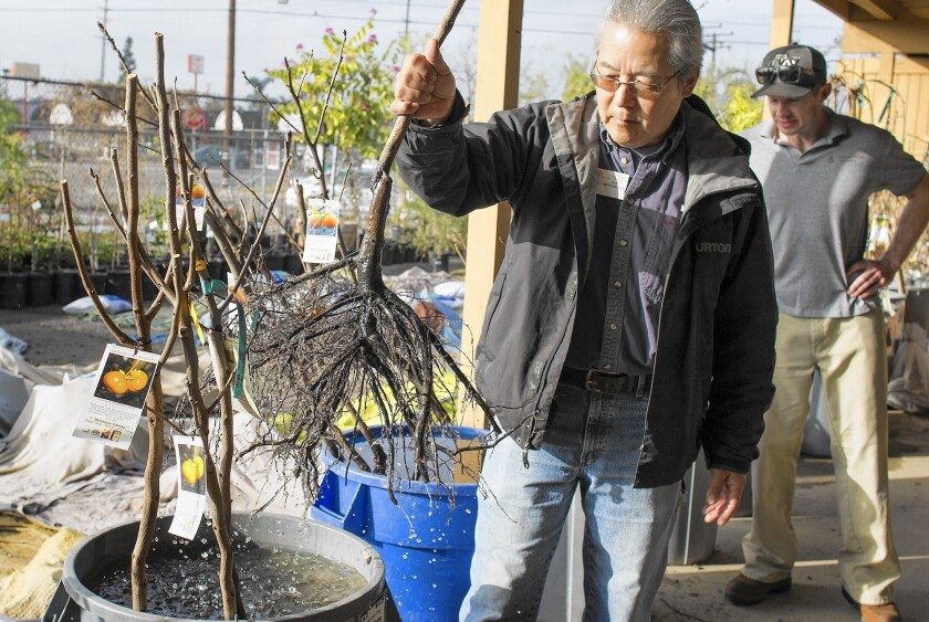 Owner Gary Matsuoka pulls out the bare roots of a fuyu persimmon tree at Laguna Hills Nursery in Santa Ana. The nursery specializes in bare-root fruit plants and roses.