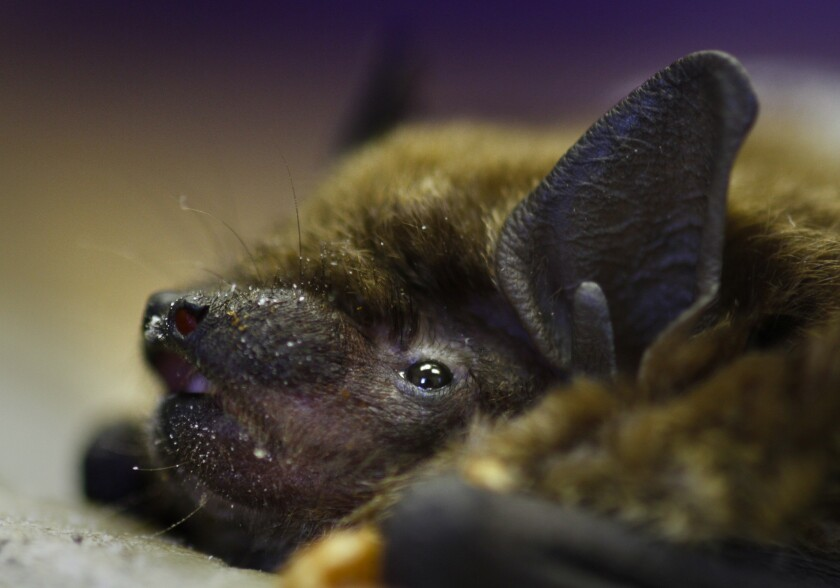A brown bat in New Mexico is checked for white-nose syndrome, a disease that has been devastating some bat populations in the East, Northeast and Southeast. Scientists are keeping a close watch for its spread.