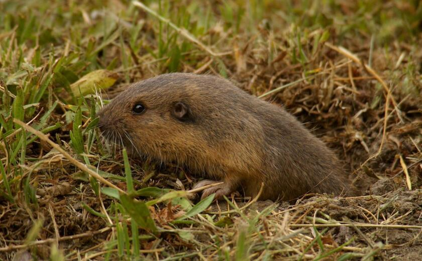 Shy and mainly nocturnal, pocket gophers are not often seen above ground, but may be seen sometimes in the afternoons.