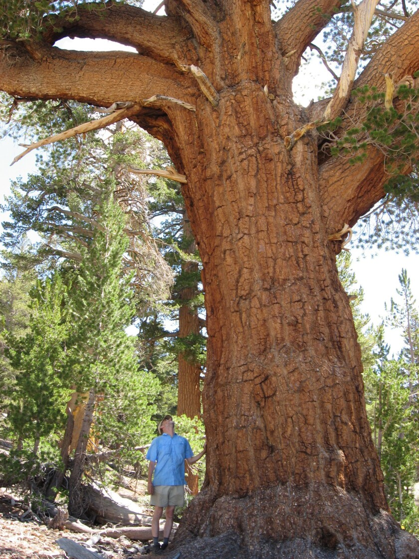 Big, old trees keep growing and capturing carbon, study finds